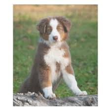 australian shepherd dog puppies australian shepherd dog gifts on zazzle