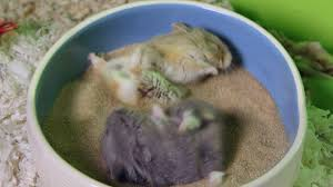 cute hamsters go crazy in sand bath youtube