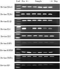 mucin 1 and cytokines mrna in endometrium of dairy cows with