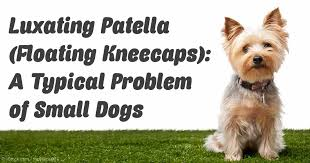 Floating Dog Bed Floating Kneecaps Or Luxating Patella In Dogs