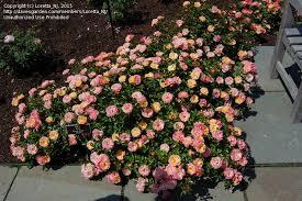 drift roses plantfiles pictures shrub drift rosa by loretta nj