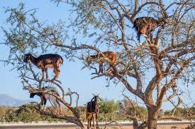 the tree goats of morocco tamri morocco atlas obscura