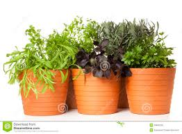 Kitchen Herb by Potted Kitchen Herbs Stock Photo Image 39842228