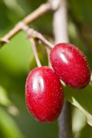 which berries grow on trees lovetoknow