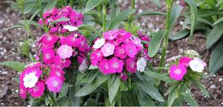 dianthus annual costa farms