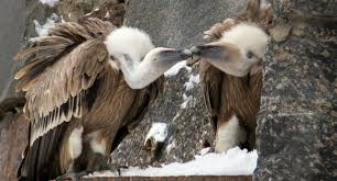 Seeking Vulture Vulture Adopt Egg After Rejects It Pinknews