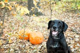 pumpkin for dogs can and should my pet eat pumpkin