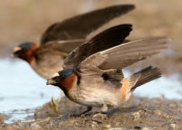 Cliff Barn Cliff Swallow Audubon Field Guide