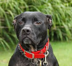 pit bull dogs wallpapers pitbull dog new wallpapers