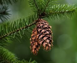 douglas fir for sale the tree center