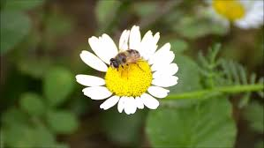 Daisy The Flower - ladybug walking on a daisy flower in field meadow lawn