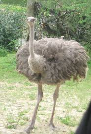 81 best ostrich images on pinterest ostriches animals and wild