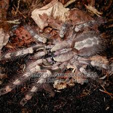 ghost ornamental spider adults 149 99
