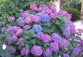 hydrangeas flowers hydrangea popular ornamental plants kinds of ornamental plants
