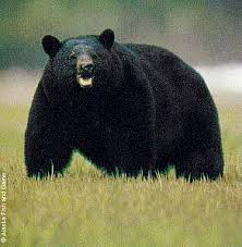 How Much Does A Bear Rug Cost Black Bear Hunting In Alaska Alaska Department Of Fish And Game