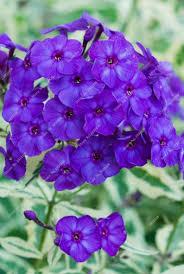 Phlox Flower Flower Phlox Promotion Shop For Promotional Flower Phlox On