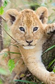 lions for sale beautiful lion cub masai mara kenya by suzi eszterhas wildlife