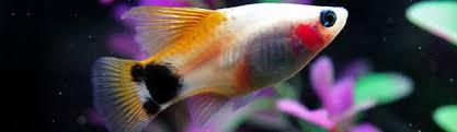 10 best freshwater aquarium fish for beginners home aquaria