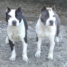 american stanford terrier y american pitbull terrier 129 best amstaffs images on pinterest animals beautiful dogs