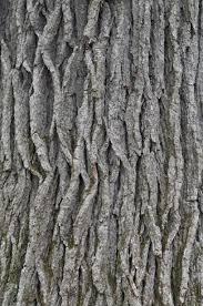 White Oak File Swamp White Oak Quercus Bicolor Bark Closeup Vertical Jpg