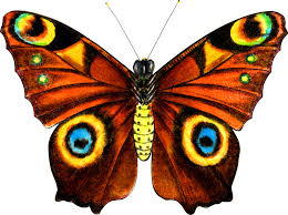 silk tiger s eye butterfly