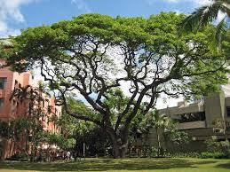 royal hawaiian courtyard tree picture of the royal hawaiian a