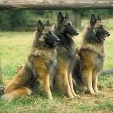 belgian sheepdog kennels tervuren belgian shepherd puppies for sale