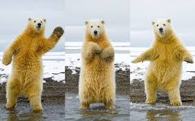 dancing polar bear meme by derpettetheredditor memedroid