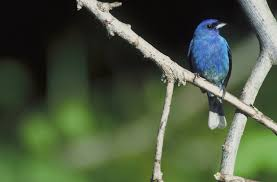 How To Attract Indigo Buntings To Your Backyard Wild Birds Unlimited May 2011
