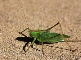Gambar hijau tinggi fauna invertebrata jangkrik merapatkan