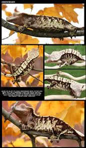 Halloween Crested Gecko Morph by 21 Best Crested Geckos Images On Pinterest Crested Gecko