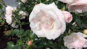 klaserose u0027aspirin rose u0027 flowers in garden klaserose aspirinrose