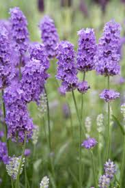 lavender flowers lavandula angustifolia lavenite lavender