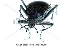was ist das für ein insekt eine wanze oder was urlaub insekten insekt boden wanze käfer carabus prodigus isolated bilder
