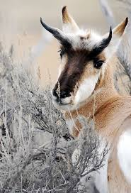colville tribe releases 52 nevada pronghorns on reservation the