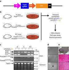 generation and comparison of crispr cas9 and cre mediated