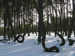 forest of kaliningrad spiral trees in russia