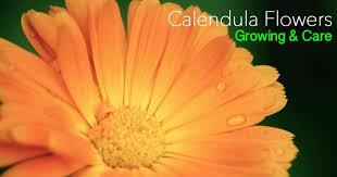 calendula flowers how to grow and care for calendula flowers