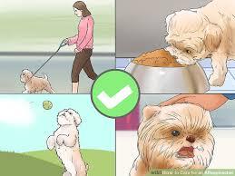 affenpinscher coat type 3 ways to care for an affenpinscher wikihow