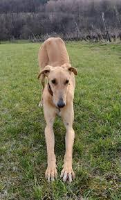 banana joe affenpinscher pedigree 14 best puppies images on pinterest saluki puppies html and dog