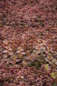Learn More About Full Sun by Bronze Carpet Stonecrop Monrovia Bronze Carpet Stonecrop
