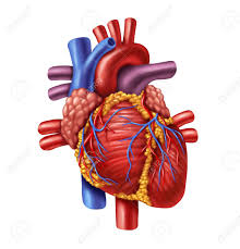 Heart Wall Anatomy Anatomy Heart Images U0026 Stock Pictures Royalty Free Anatomy Heart