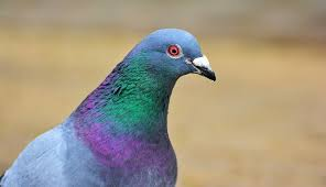 pigeon dove spirit symbolism and meaning