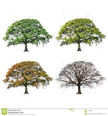Oak Tree Drawing Oak Tree Abstract Four Seasons Royalty Free Stock Photos Image