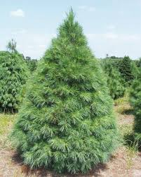 your guide to evergreen christmas trees