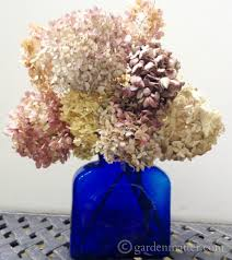 dried hydrangeas drying hydrangeas creating everlasting decor