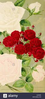 novelties in fruit and ornamental trees shrubs roses etc 1899