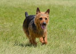 australian shepherd terrier list of common characteristics shown by all terrier mix breeds