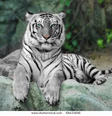 white tiger stock images royalty free images vectors