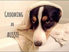australian shepherd overprotective grooming australian shepherd aussies pinterest australian